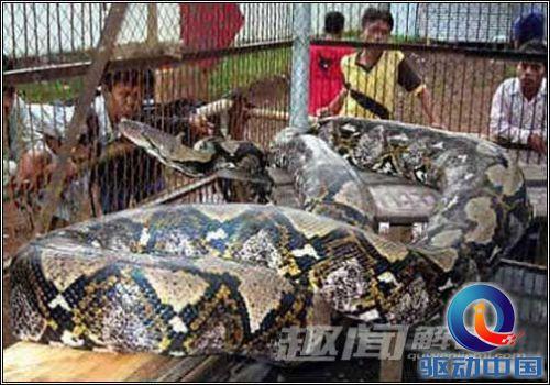 蛇精(组图)  巨型蟒蛇  厦门百斤巨蟒令人惊悚 世界上最大的