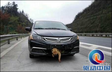 """说明: """"狗坚强""""被车撞嵌进车身 车载其跑了400公里 车主决定收养.jpg"""