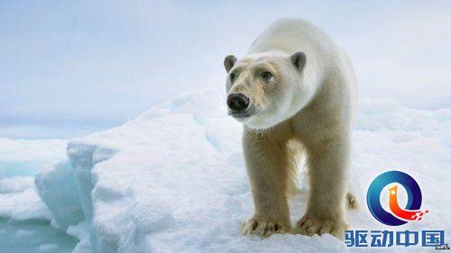 科学家对阿拉斯加地区夏季生活的北极熊进行了研究,发现它们无法适应