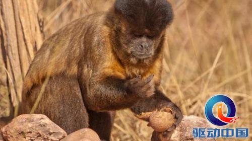 黑猩猩与猴类进入石器时代:石头敲开坚果