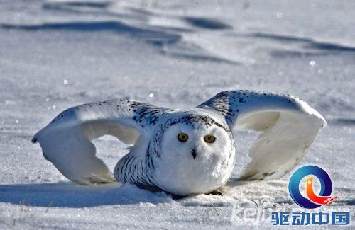 盘点:北极珍稀动物 冰雪世界中的美丽精灵(2)