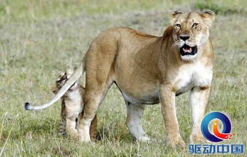 可爱的肯尼亚淘气小狮子咬着母狮的尾巴不放,当时别的幼狮都在乖乖吃