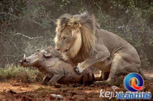 由于面目狰狞,被认为是世界上十大最丑动物之一,在自然界中天敌为狮子