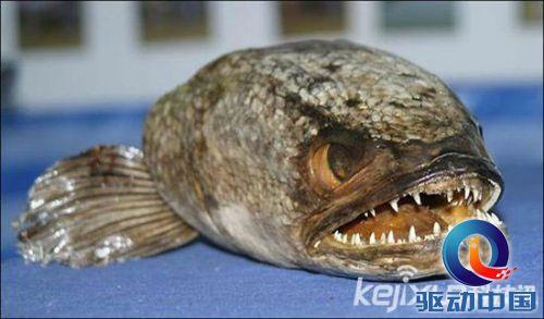 盘点:全球7大最恐怖鱼类 亚洲羊头鱼长像史莱克