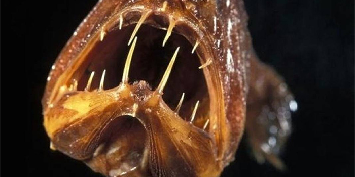 汇集全球最丑陋鱼类 亚洲羊头鱼酷似史莱克