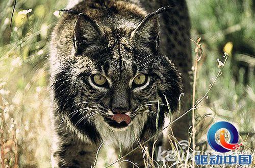动物世界濒危物种:伊比利亚猞猁面目可憎