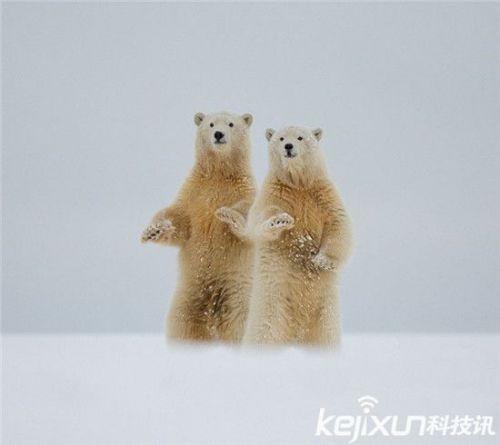 """憨态北极熊宝宝向摄影师挥手""""打招呼"""" 可爱至极_动物"""