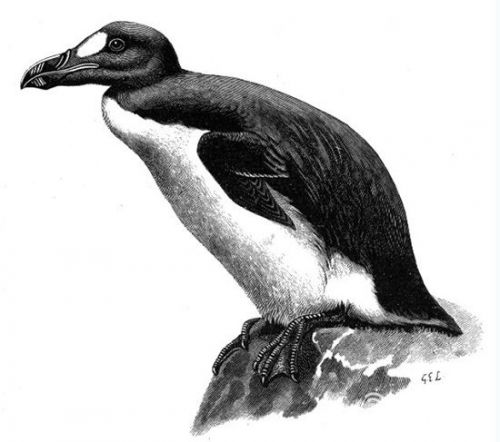 北极十大美丽动物 企鹅曾经是北极动物里的一员(8)