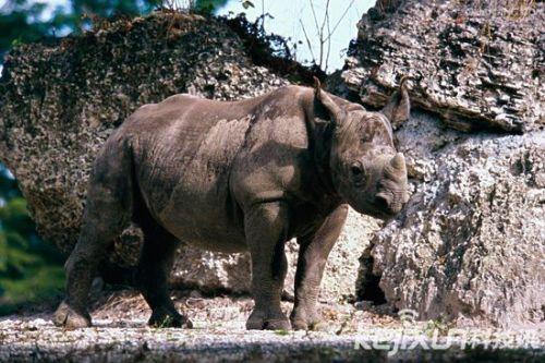 十大濒临灭绝动物:世上最后一只白犀牛受保护(5)