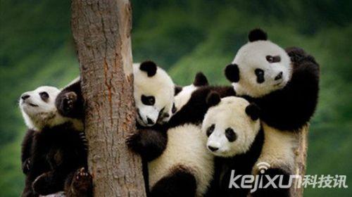 一提起肥嘟嘟的黑白熊猫,想想它们津津有味啃竹子的萌样,谁都会忍不