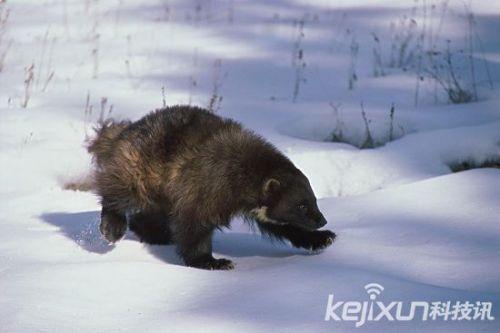 北极珍稀野生动物大盘点:除了北极熊你还知道哪些