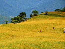 美丽的金针花园:六十石山