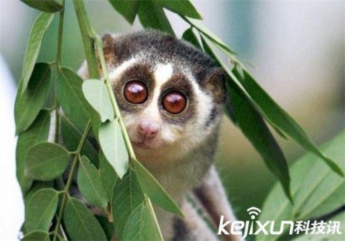 世界上最小的猴子:原来长这个样子