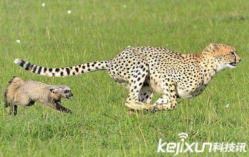 【动物趣图】非洲肯尼亚猎豹捕食野狗 反被猎物倒追