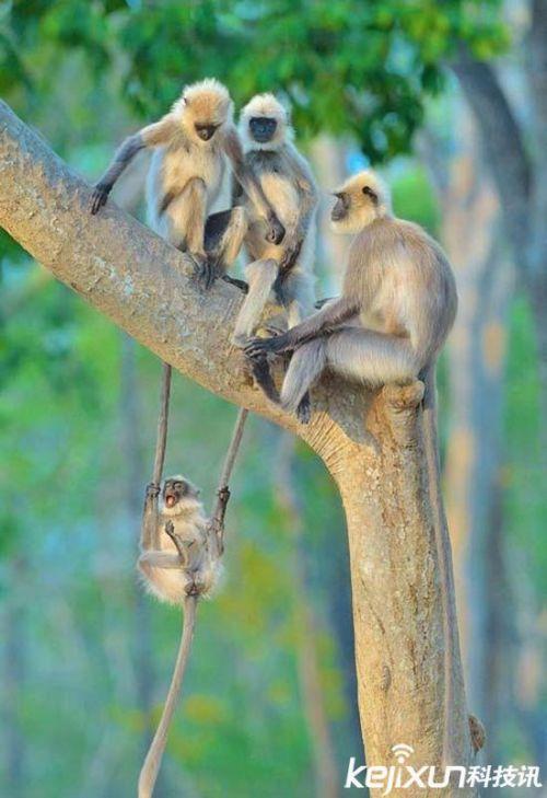 图片中的幼猴抓住两只成年猴子的长尾巴,调皮地玩起了荡秋千,嘴巴张大