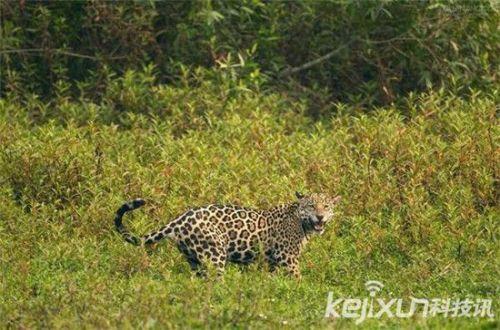 非洲大草原上的动物们都开始疯狂的寻找