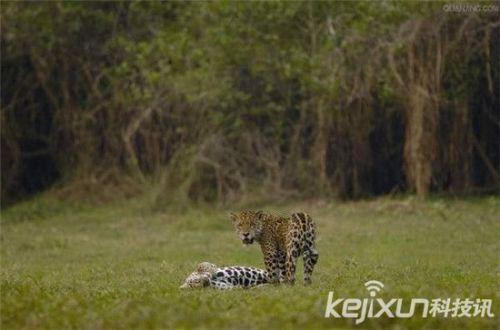 非洲大草原上的动物们都开始疯狂的寻找对象交配
