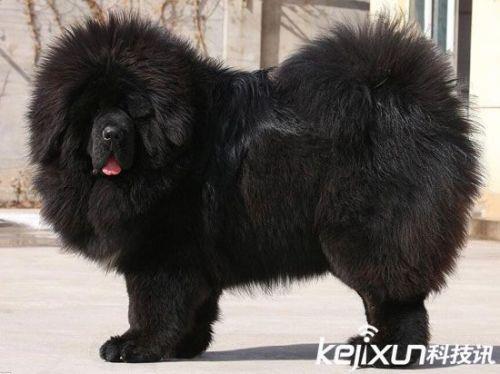 """世界上最大的狗藏獒_世界上最大的狗:高加索犬被赞""""犬中之王""""_驱动中国"""