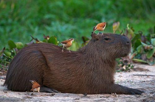 感觉大自然的动物都是水豚的好基友