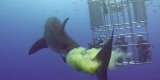 大白鲨不喜欢被人拍,排绿色秽物报复!