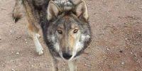 他收养了一只免费狗,却发现它不纯正!
