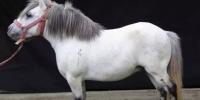 世界上最矮的马,能不能萌到你!