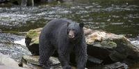 美国马里兰州妇人突遭200磅黑熊袭击 徘徊鬼门关惊恐报警