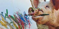"""世界上唯一会画画的猪,主人便给它取名叫""""毕加索"""""""