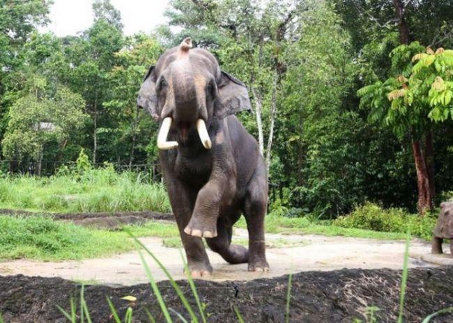 """查旺成为当地夜间野生动物园的动物大使。 (神秘的地球uux.cn报道)新加坡的明星象近日成为当地夜间野生动物园的动物大使,主要任务是提高各界对亚洲大象的认识,加强保育意识。 40岁的""""查旺""""(Chawang)在上周五获委以重任,它身高3米,重达4.5公吨,是新加坡野生动物保育集团身躯最庞大的动物。查旺在1983年由马来西亚移送至当地,夜间野生动物园开幕至今,一直留在园内。 保育集团表示,查旺向来在园内很受欢迎,因此钦点它作大使,希望公众了解亚洲大象,帮助它们。而在集团属下的新加坡"""