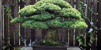 全球最长寿盆栽!还挺过了广岛核爆炸
