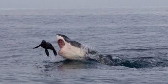 南非海豹鲨口逃生惊险三连拍!