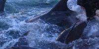 日本大规模围猎海豚引争议:臭名昭著的传统