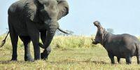 非洲河马咆哮大象为领地宣战