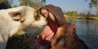 解密小河马与猎犬如何成为亲密好友