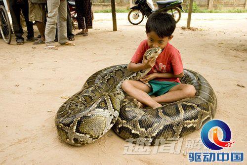 蛇精(组图)(3) > 正文   巨型蟒蛇 厦门百斤巨蟒令人惊悚 世界上最大