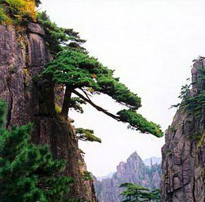 壁纸 风景 树 松 松树 300_296