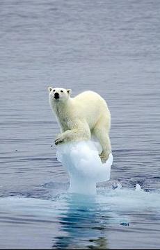 气候变暖下的北极熊
