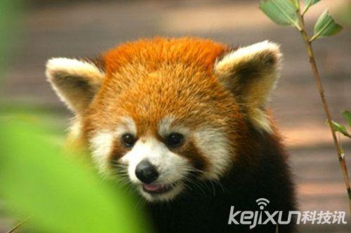 动物世界小熊猫