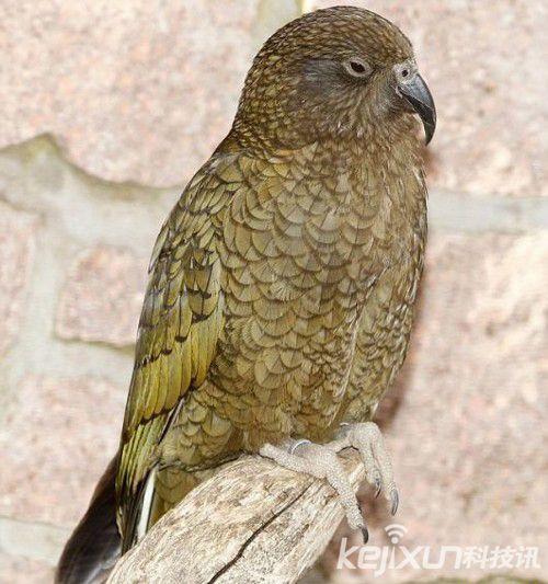 德国动物园奇丑鹦鹉诞生 似外星人和烤鸡的结合体