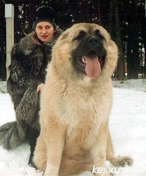 世界上最大的狗 高加索犬被赞 犬中之王图片