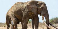 世界巨型大象被残杀 面目全非!
