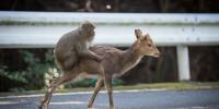 """日本九州""""屋久岛"""",猕猴与鹿关系不一般!"""