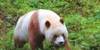 全球唯一一只巧克力色熊猫,太孤独了!