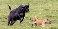 发了威的牛可不是好惹的!逆袭成能力者