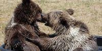 两只棕熊宝宝拒绝大泳池,偏要挤在一个盆里洗澡