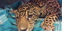 美洲豹幼豹软瘫站不起,X光一照,体内竟有18颗子弹!