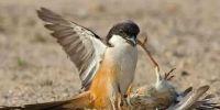 此鸟虽小 却是名副其实的天空霸主!