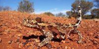 神奇的动物!不用喝水也能在沙漠中存活的蜥蜴!