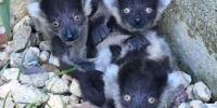 濒绝物种:4只黑白领狐猴诞生