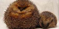 英国刺猬吃成胖墩:被强制减肥
